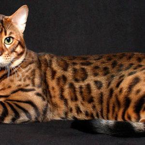 Бенгальский дальневосточный кот